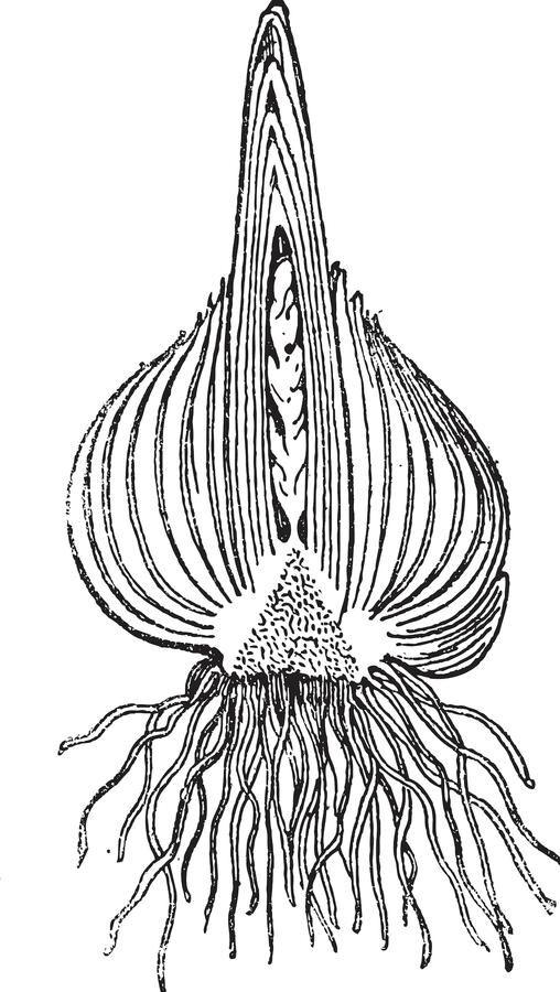 Hyacintlök
