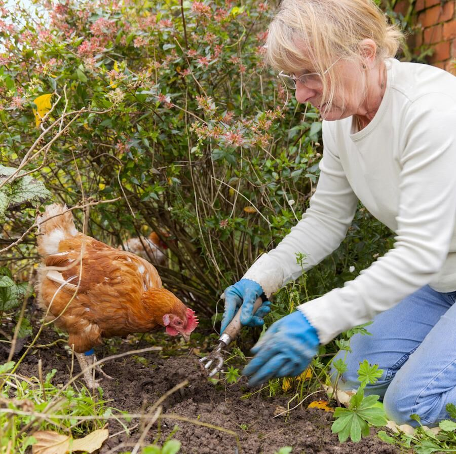 Gardening With Hens
