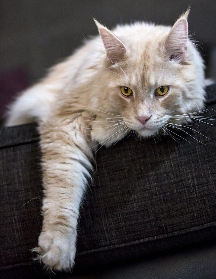 Maine Coon-katten CC sträcker ut i soffan. Lägg märke till lejonhakan, de lodjurslika tofsarna på öronen och den rejäl tilltagna tassen. Foto: Lotta Silfverbrand