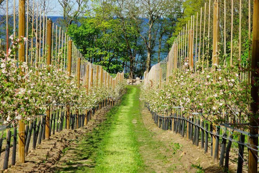 Kivik är känt för sina äppelodlingar. Foto: Mostphotos
