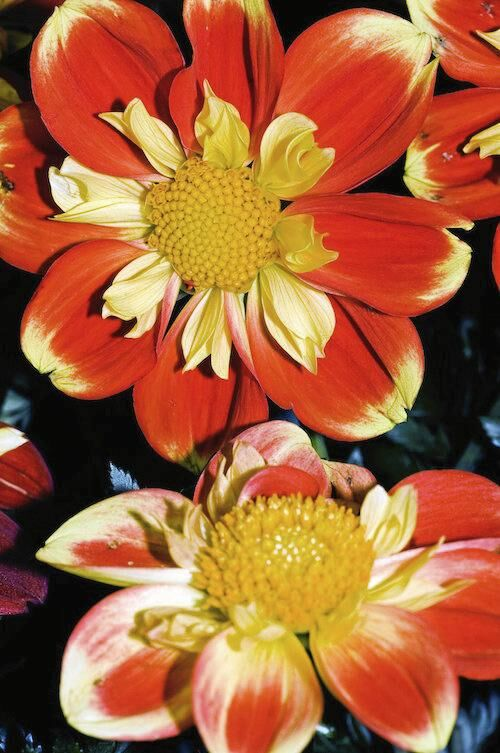 Tydlig. Halskråsdahlian 'Pooh' blir 80 centimeter hög och bär orangefärgade blommor med honungsgul mitt. Blommar från juli.