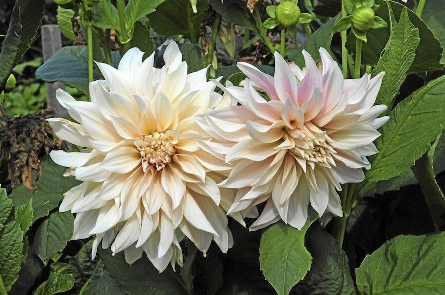 Högrest. 'Café au Lait' tillhör de dekorativa dahliorna, och prunkar i juli–september med stora, närmast aprikosfärgade blommor.