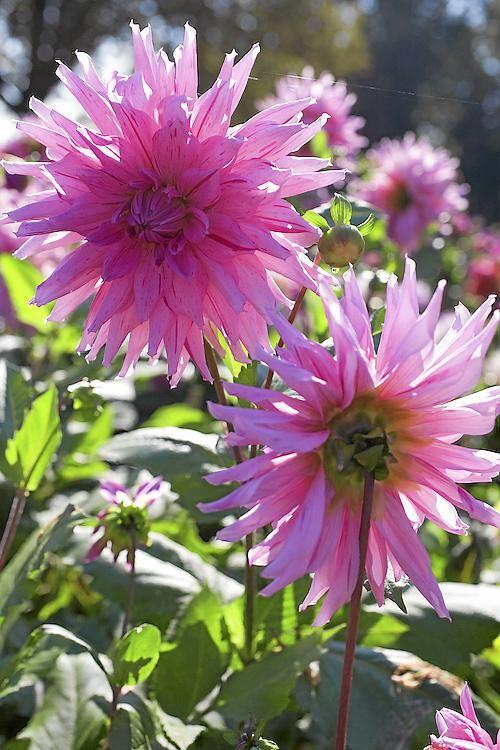 Drömdahlia. 'American dream' är en kaktusdahlia vars stora rosa blommor har vinröda strimmor. Blir 110 centimeter hög, blommar i juli–oktober.
