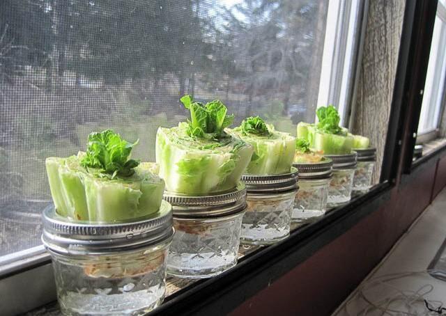 Land.se visar hur du odlar kruksallad på fönsterbrädan.