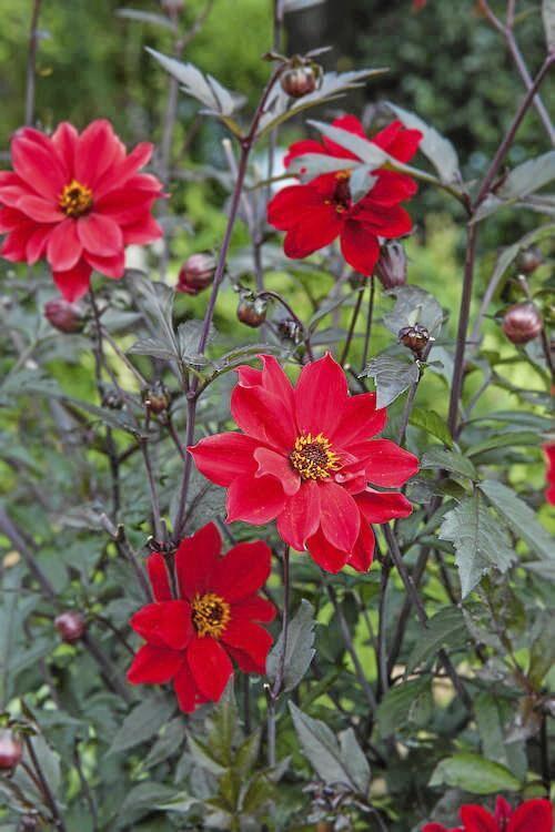 Biskopsblomma. 'Bishop of Llandaff' är en mörkbladig dahlia med små, närmast scharlakansröda blommor. Blommar i juli–september och blir 75 centimeter hög.