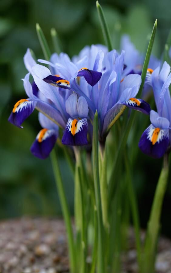 Reticulated Iris, Iris reticulata, Iridaceae, Caucasus and West Asia