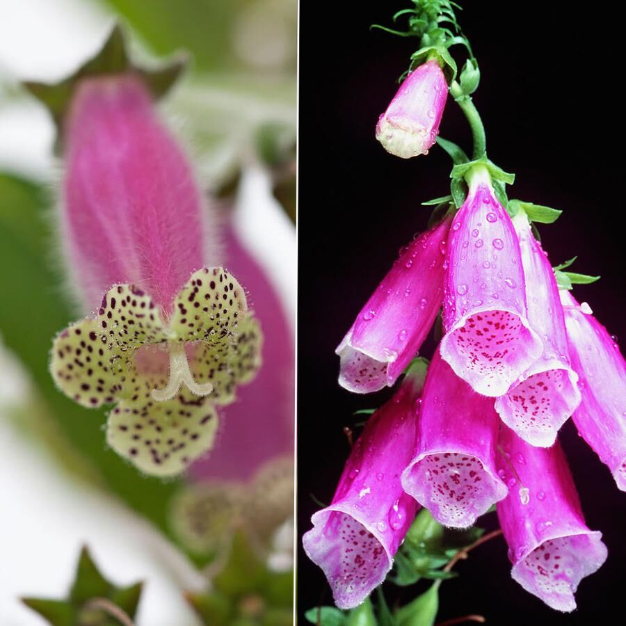 """Tidigare hade den här narrhuvan det latinska namnet digitaliflora. Det betyder """"blommar som digitalis"""". Visst syns likheten, digitalis är den till höger."""