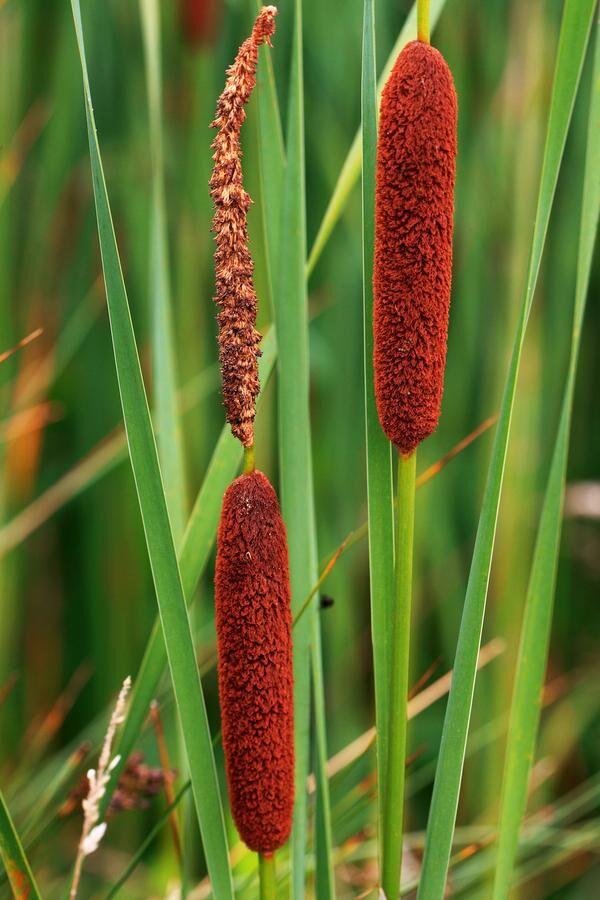 LESSER REEDMACE (Typha angustifolia) PLANTS IN FLOWER