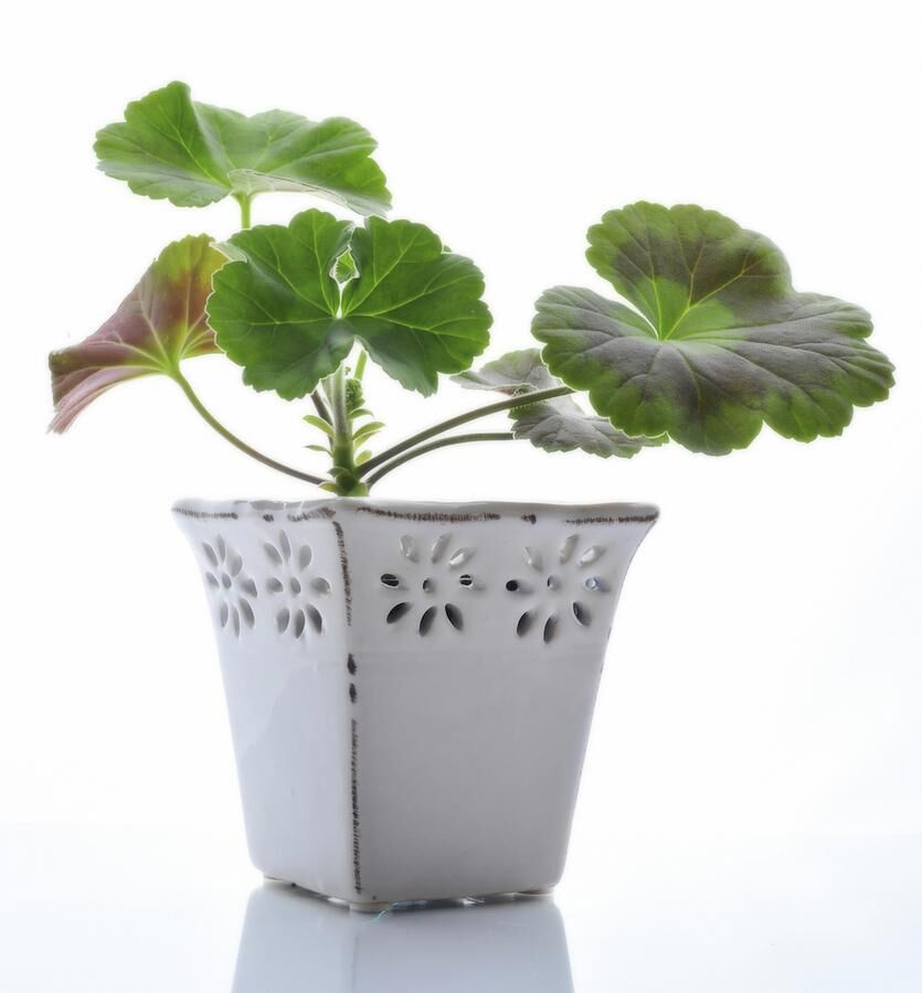 Cranebill sprout