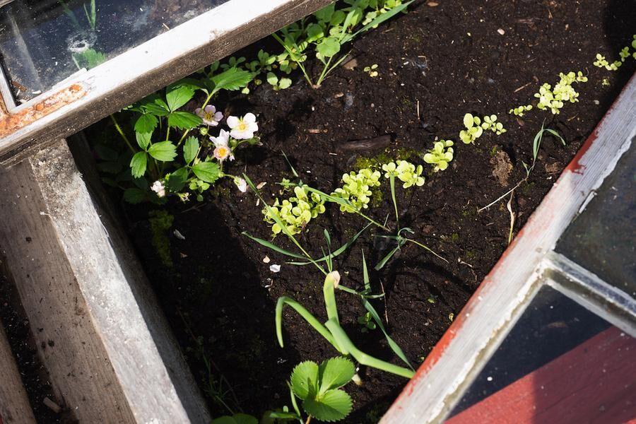 Nu gror det i odlingslådor, drivbänkar och i odlingstunneln på gården.