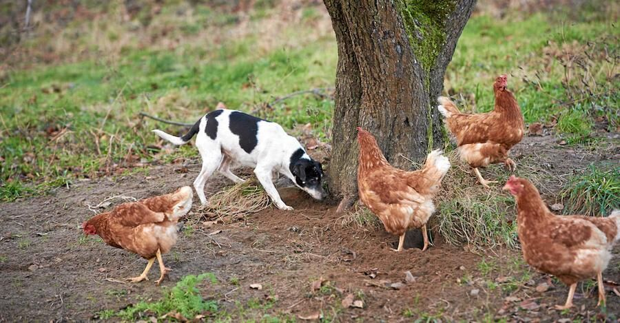 Mandelmanns, hunden Siri, höns. Foto: Stefan Lindblom.