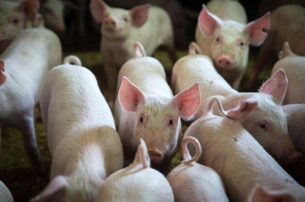 Flera grisar fick avlivas efter att de brännskadats i samband med en ladugårdsbrand.