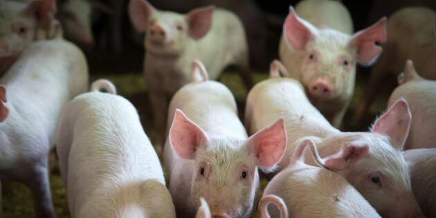 Ladugård övertänd - flera grisar fick avlivas