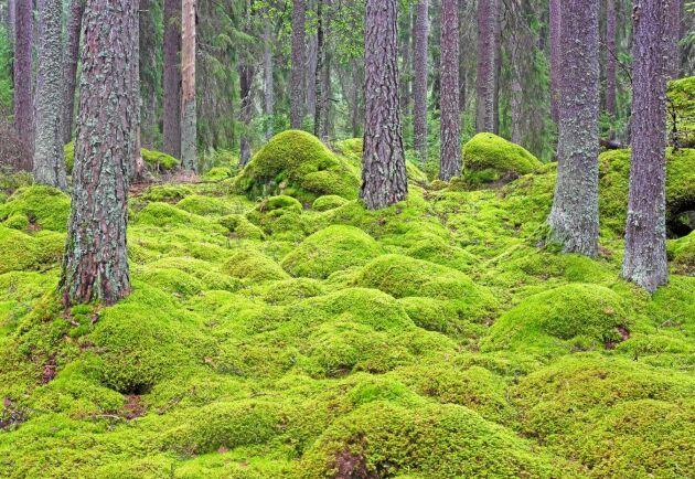 En stor del av vår skog kräver störning och arterna som trivs i vår natur är anpassade efter dessa cykler av störning, skriver debattören.