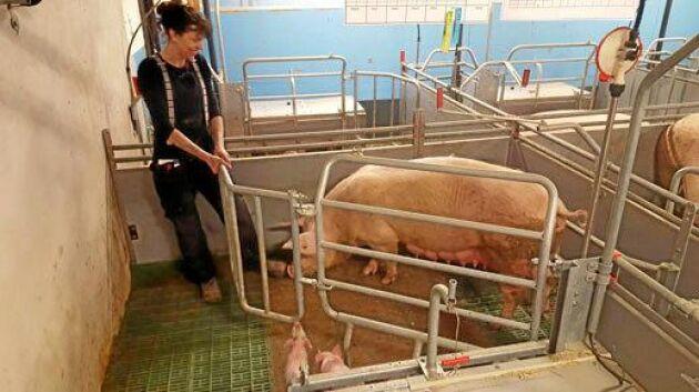 Be Free BoPil Grisingsboks. Är en grisningsbox där i stort sett all hantering kan ske från gången, det gör arbetet effektivt och säkert. Utfodring, hantering, övervakning och rengöring kan skötas utan att personal måste gå in till suggan och smågrisarna. Leverantör: BoPil A/S.