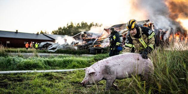 Grisgård i brand – 600 grisar fast i byggnad
