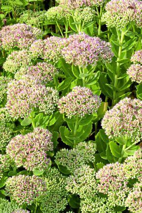Kärleksört (Hylotelephium telephium). Skott och blad i början av säsongen används färska eller wokade. Föredrar soligt och väldränerat läge. Foto: IBL.