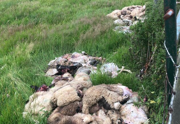 21 lamm hade dödats och slaktats på fältet.