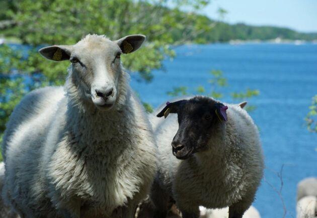 Totalt befann sig 25 tackor och lamm i hagen som vetter ner mot Väddöviken.