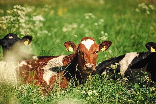 Mjölkkor njuter av friskt och grönt bete.