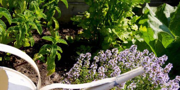 5 smarta skötselråd för kryddträdgården