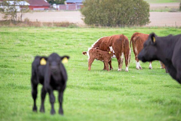 Under ett års tid föds cirka 225 kalvar på gården.