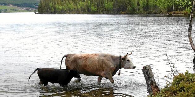 Underbart! Se korna som simmar till en ö mitt i sjön