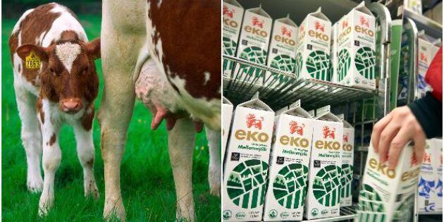 Mer ekomjölk trots lägre efterfrågan