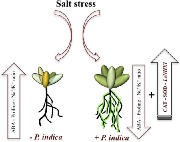 Bilden beskriver påverkan av saltvatten utan och med svampsymbios.