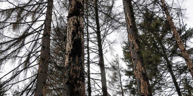 Barkborren orsakar kris i Tjeckiens skogar