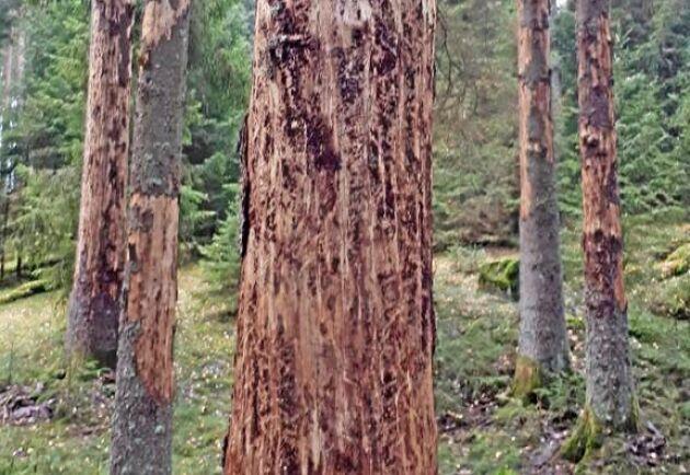 2,5 miljoner kubikmeter skog bedöms vara angripen av granbarkborrar.