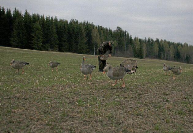 David Svartmo placerar ut sina bulvaner. Några timmar senare har tre kanadagäss skjutits tack vare lockfåglarna.