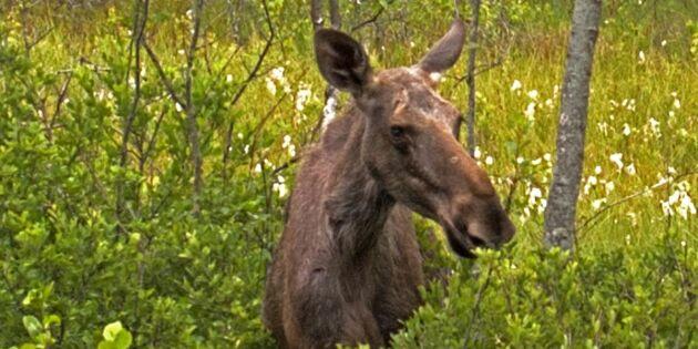 Rapport: Försumbara kostnader för viltskador