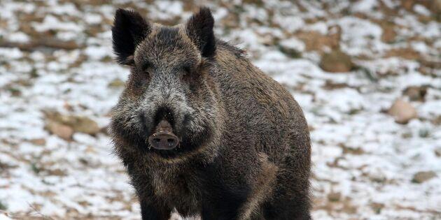 Japan vaccinerar vildsvin mot svinpest