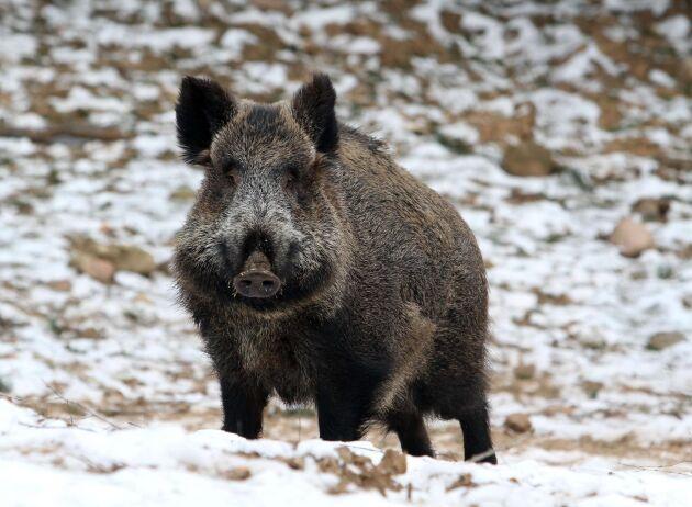 I Japan ska vildsvin vaccineras mot svinpest. Arkivbild.