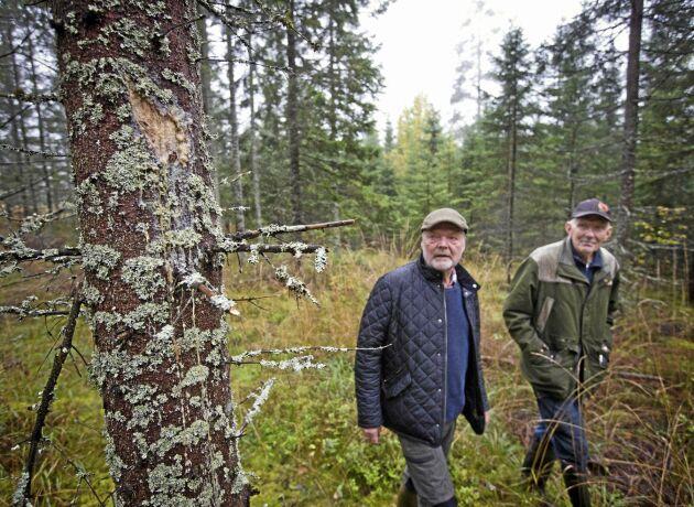 Magnus Nilsson, tv, och hans tremänning Nils Nilsson kan bara konstatera att stamskadorna blev stora efter att Stora Enso gallrat.