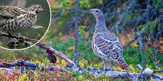 Mystisk fågel skjuten i Norrbotten – experter förbryllade