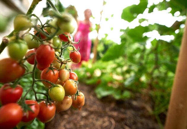 """Ämnet som hittats tros komma från importerade restprodukter från bland annat sockerbetsodlingen, tror Krav. """"Det saknas tyvärr ekologisk råvara till växtnäringsprodukter för ekologisk odling. Vi har alltså försökt stötta marknaden med en produkt som annars inte skulle ha funnits. Men vi är de första att agera nu när restprodukterna från konventionell odling visar sig ge skador på odlingarna"""", säger Anita Falkenek (arkivbild)."""
