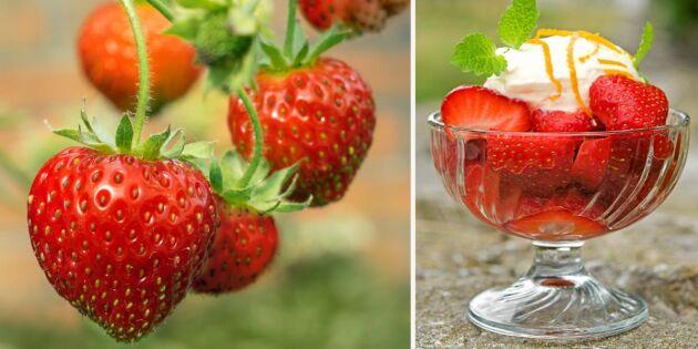 Marinerade jordgubbar med vit chokladmousse