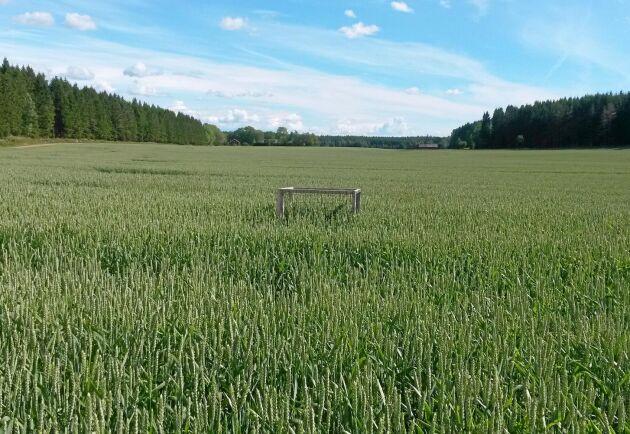 Den 26 juni 2014 var det omöjligt att se någon beteseffekt på vetet.