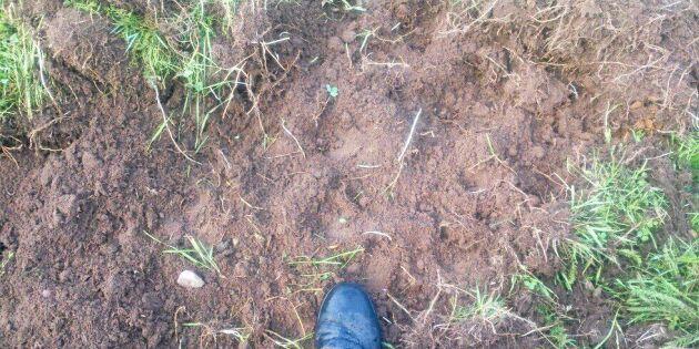 Vildsvinen trasar sönder hans lantbruk