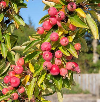 FRUKTFYLLD. Prydnadsapeln är fin med frukt. Beroende på sort blir prydnadsapeln mellan 1,5 och sju meter hög. Foto: IBL
