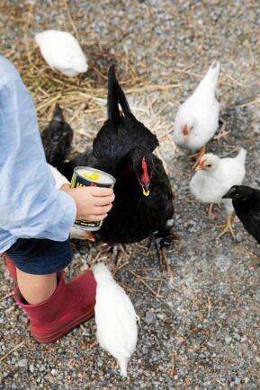 Hönsen får springa fritt på gården och har lärt sig att gömma sig för rovfåglar.