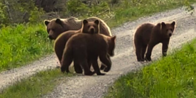 Se när Jan Erik möter björnfamiljen på promenaden