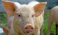 Kina ökar import av griskött