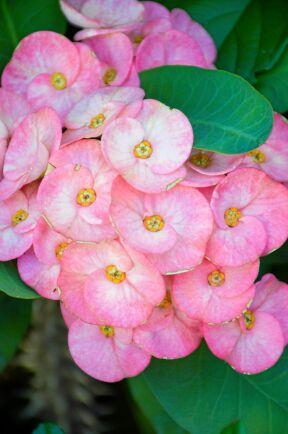 Moderna Kristi Törnekrona ger ofta fler och större blommor än de som fanns förr.
