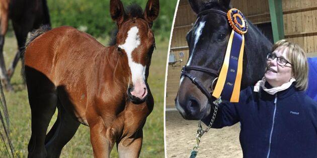 Hästuppfödare med sikte på de högsta klasserna
