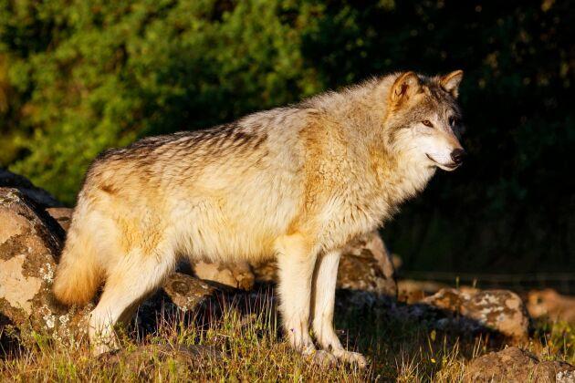 I går slog vargar till mot en dansk fårgård. 25 djur dog och tre är försvunna.