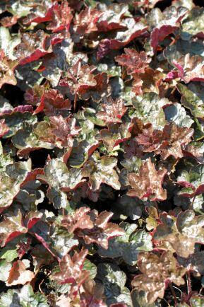 9) Alunrot, Heuchera micranta, 'Rachel' bildar en tät matta av vinröda tandade blad. Växten blir 10–15 centimeter hög och får sirliga stänglar med ljust rosa blommor.