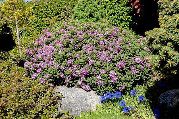 Susannatibast har ett bulligt och kompakt växtsätt och blir omkring 30 cm hög. Här tillsammans med blå gentiana.